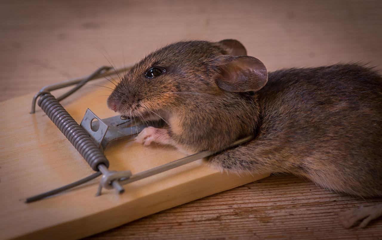 Как избавиться от мышей в доме навсегда народными средствами