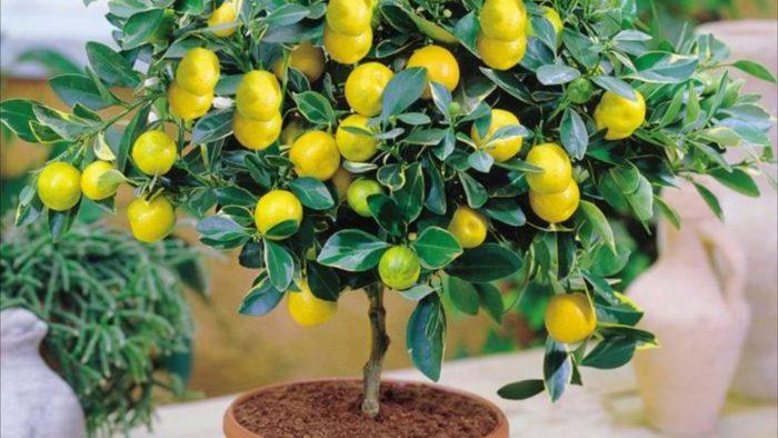 Как вырастить лимонное дерево дома в горшке из косточки