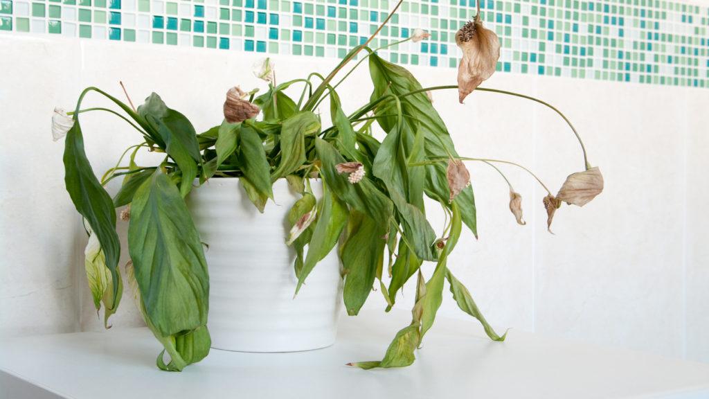 Почему сохнут листья у комнатных растений?