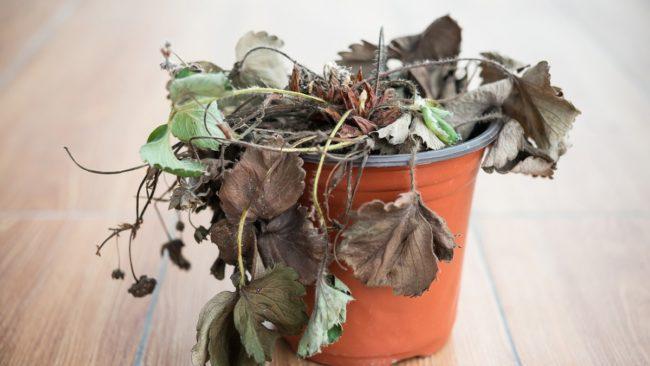 Почему сохнут листья у комнатных растений и что нужно делать