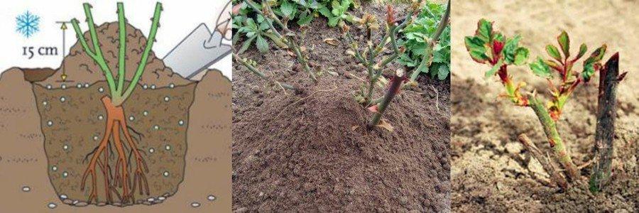 как посадить розы осенью