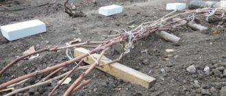 советы по подготовке винограда к зиме